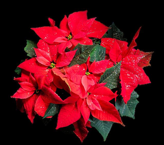 Stella di Natale pianta: descrizione e tecniche di conservazione